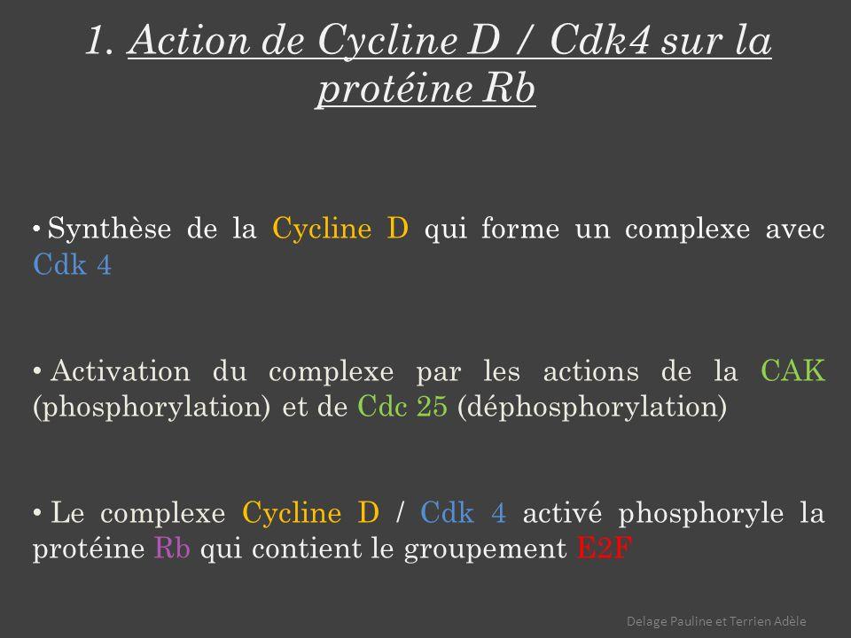 1. Action de Cycline D / Cdk4 sur la protéine Rb Synthèse de la Cycline D qui forme un complexe avec Cdk 4 Activation du complexe par les actions de l