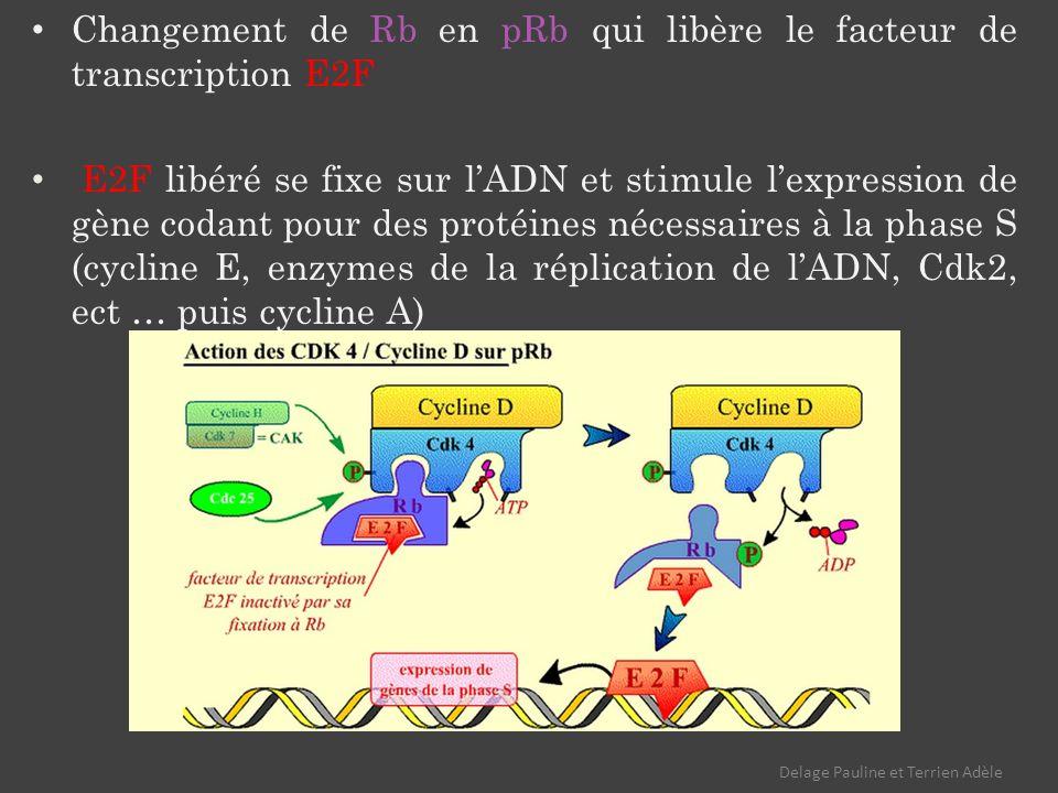 Changement de Rb en pRb qui libère le facteur de transcription E2F E2F libéré se fixe sur lADN et stimule lexpression de gène codant pour des protéines nécessaires à la phase S (cycline E, enzymes de la réplication de lADN, Cdk2, ect … puis cycline A) Delage Pauline et Terrien Adèle