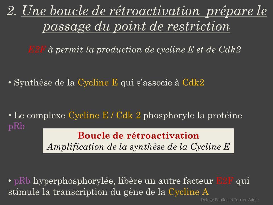 2. Une boucle de rétroactivation prépare le passage du point de restriction E2F à permit la production de cycline E et de Cdk2 Synthèse de la Cycline