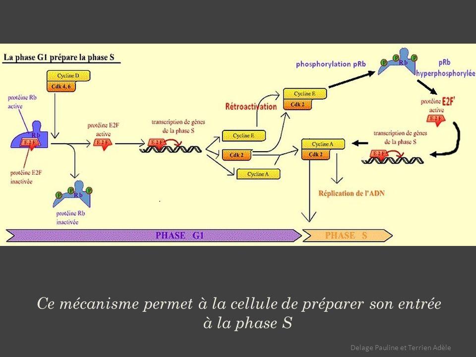 Ce mécanisme permet à la cellule de préparer son entrée à la phase S Delage Pauline et Terrien Adèle