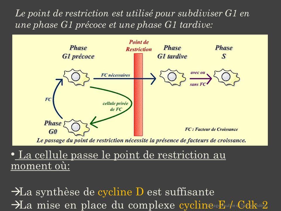 La cellule passe le point de restriction au moment où: La synthèse de cycline D est suffisante La mise en place du complexe cycline E / Cdk 2 est suffisante (phosphorylation de pRb suffisante) Le point de restriction est utilisé pour subdiviser G1 en une phase G1 précoce et une phase G1 tardive: Delage Pauline et Terrien Adèle