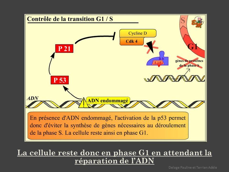 La cellule reste donc en phase G1 en attendant la réparation de lADN Delage Pauline et Terrien Adèle