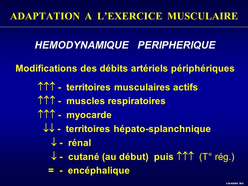 ADAPTATION A LEXERCICE MUSCULAIRE HEMODYNAMIQUE PERIPHERIQUE Modifications des débits artériels périphériques - territoires musculaires actifs - muscl