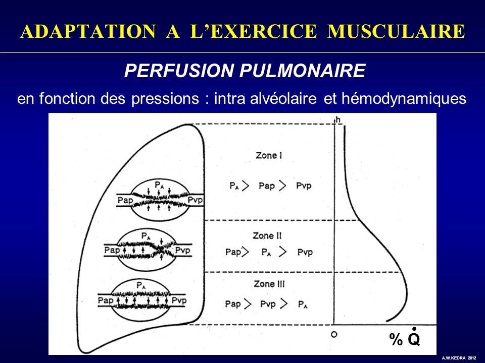ADAPTATION A LEXERCICE MUSCULAIRE PERFUSION PULMONAIRE en fonction des pressions : intra alvéolaire et hémodynamiques % Q A.W.KEDRA 2012