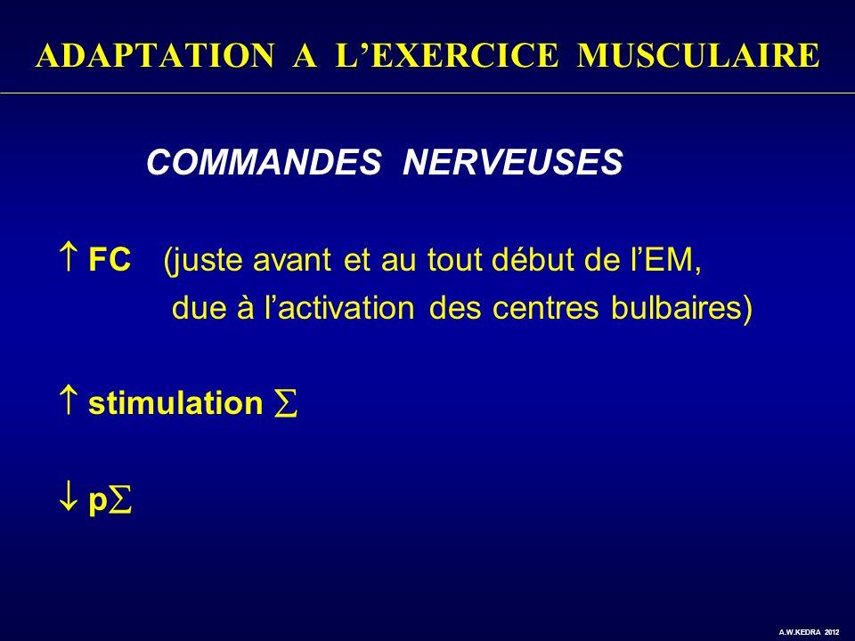 ADAPTATION A LEXERCICE MUSCULAIRE - COMMANDES NERVEUSES FC (juste avant et au tout début de lEM, due à lactivation des centres bulbaires) - stimulatio