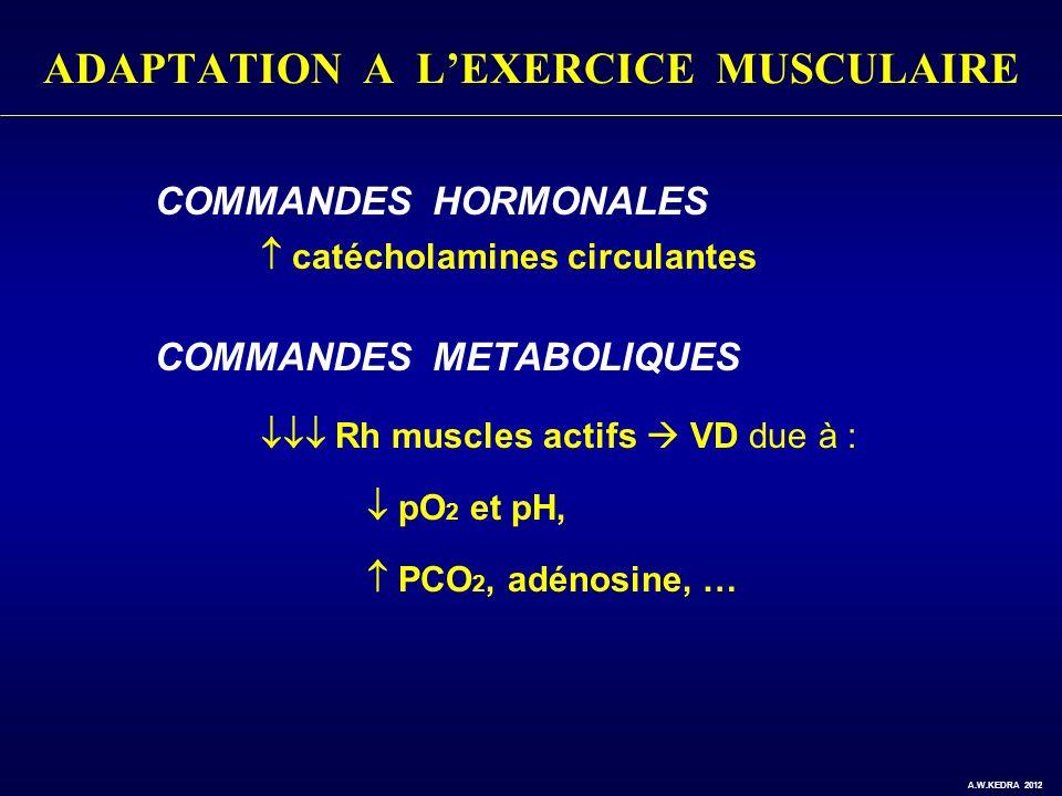 ADAPTATION A LEXERCICE MUSCULAIRE COMMANDES HORMONALES catécholamines circulantes COMMANDES METABOLIQUES Rh muscles actifs VD due à : pO 2 et pH, PCO