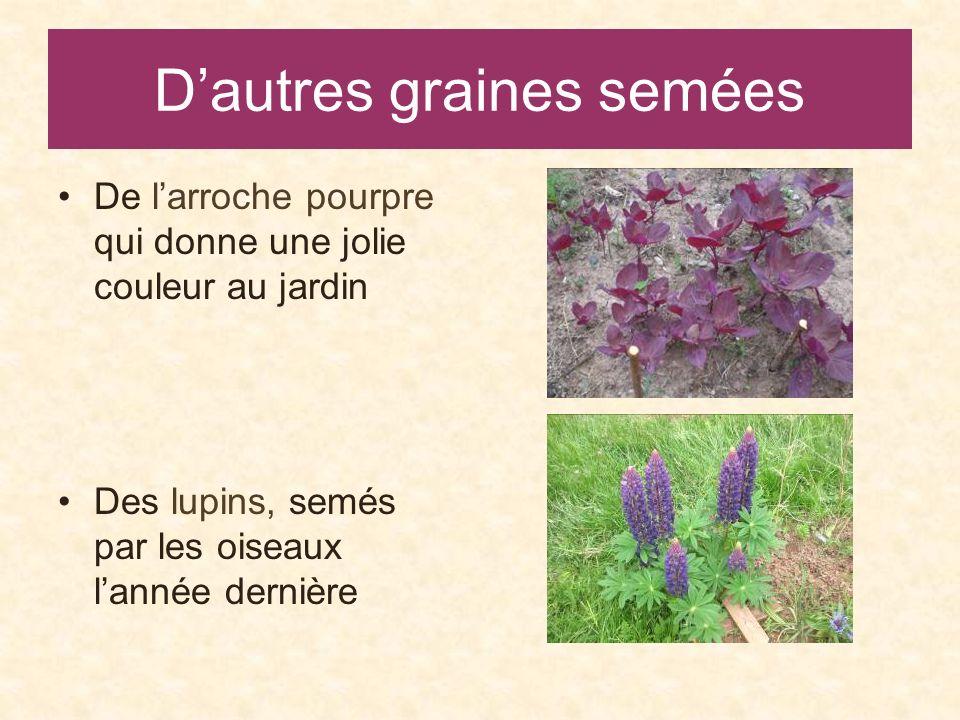 Dautres graines semées De larroche pourpre qui donne une jolie couleur au jardin Des lupins, semés par les oiseaux lannée dernière