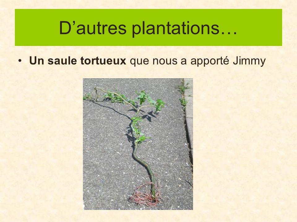 Dautres plantations… Un saule tortueux que nous a apporté Jimmy