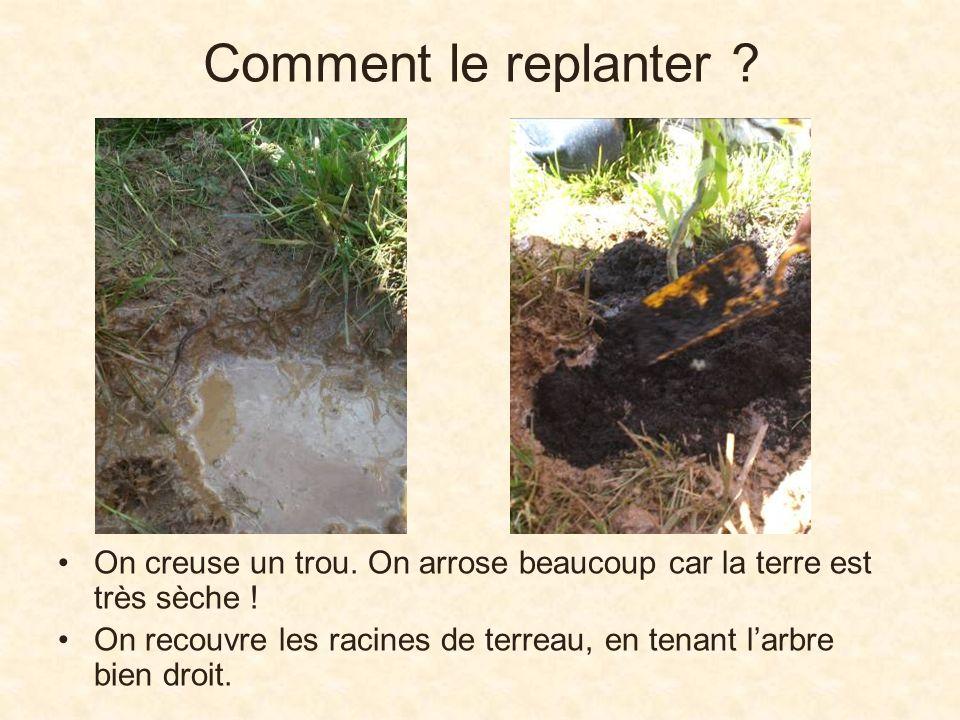 Comment le replanter ? On creuse un trou. On arrose beaucoup car la terre est très sèche ! On recouvre les racines de terreau, en tenant larbre bien d