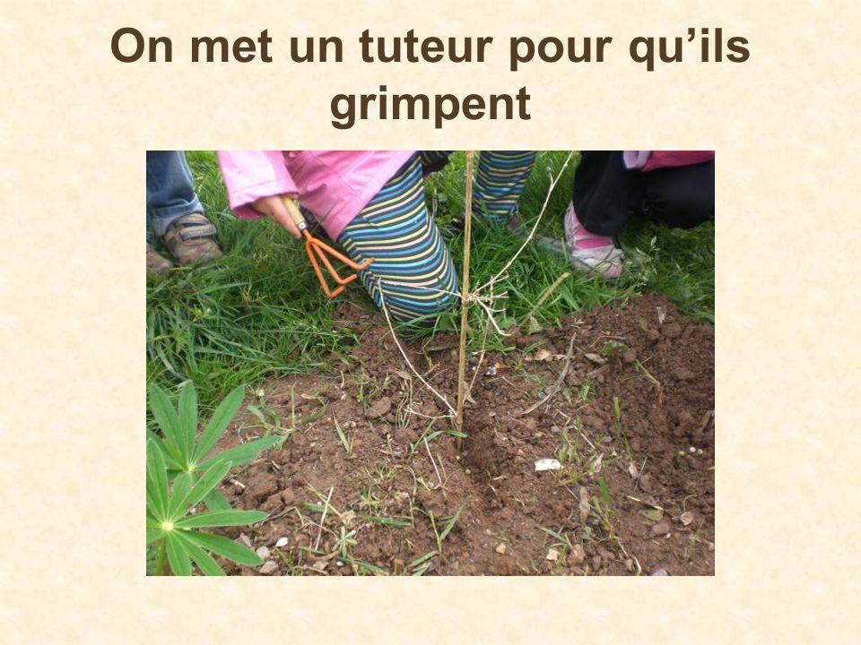 Le sirop de menthe Nous cueillons des tiges de menthe dans notre jardin Puis nous détachons les feuilles des tiges