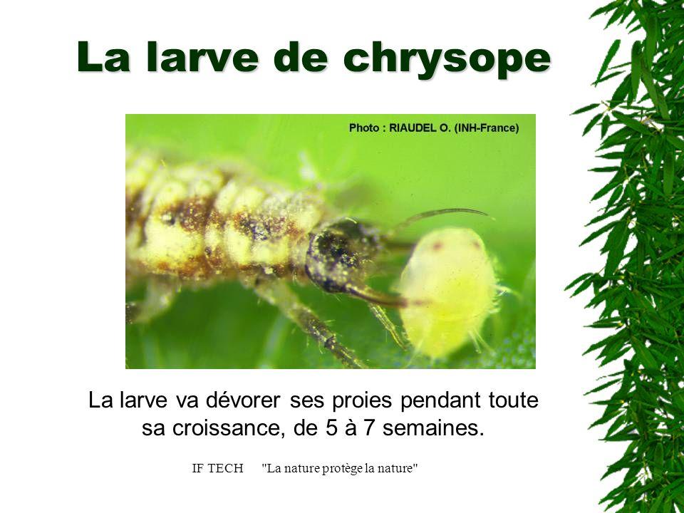 IF TECH La nature protège la nature Le cocon de chrysope La larve se nymphose au bout de 4 semaines pour se transformer en un adulte ailé de 1 cm de long.