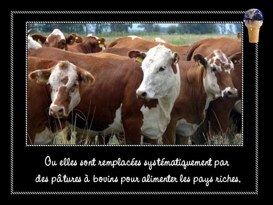Ou elles sont remplacées systématiquement par des pâtures à bovins pour alimenter les pays riches,