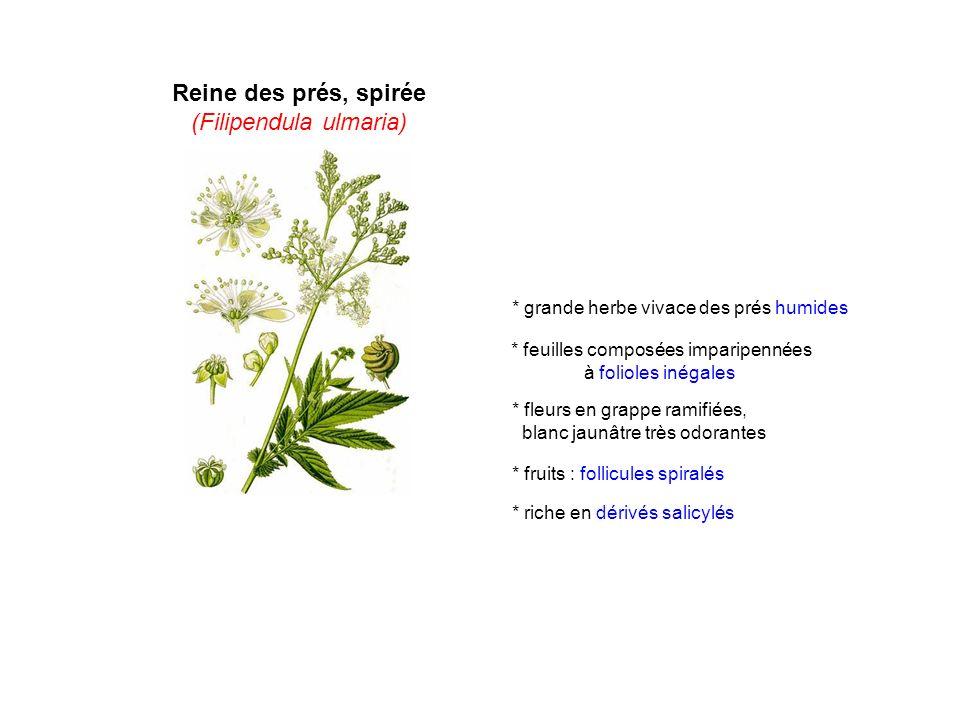 Reine des prés, spirée (Filipendula ulmaria) * grande herbe vivace des prés humides * fleurs en grappe ramifiées, blanc jaunâtre très odorantes * feui