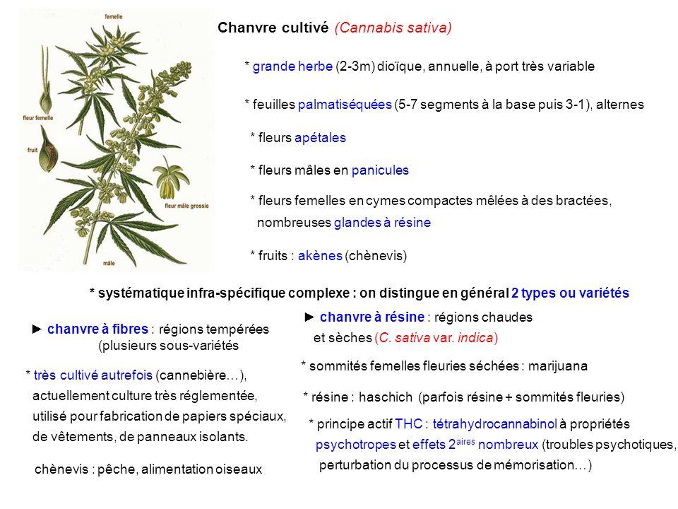 Chanvre cultivé (Cannabis sativa) * grande herbe (2-3m) dioïque, annuelle, à port très variable * feuilles palmatiséquées (5-7 segments à la base puis
