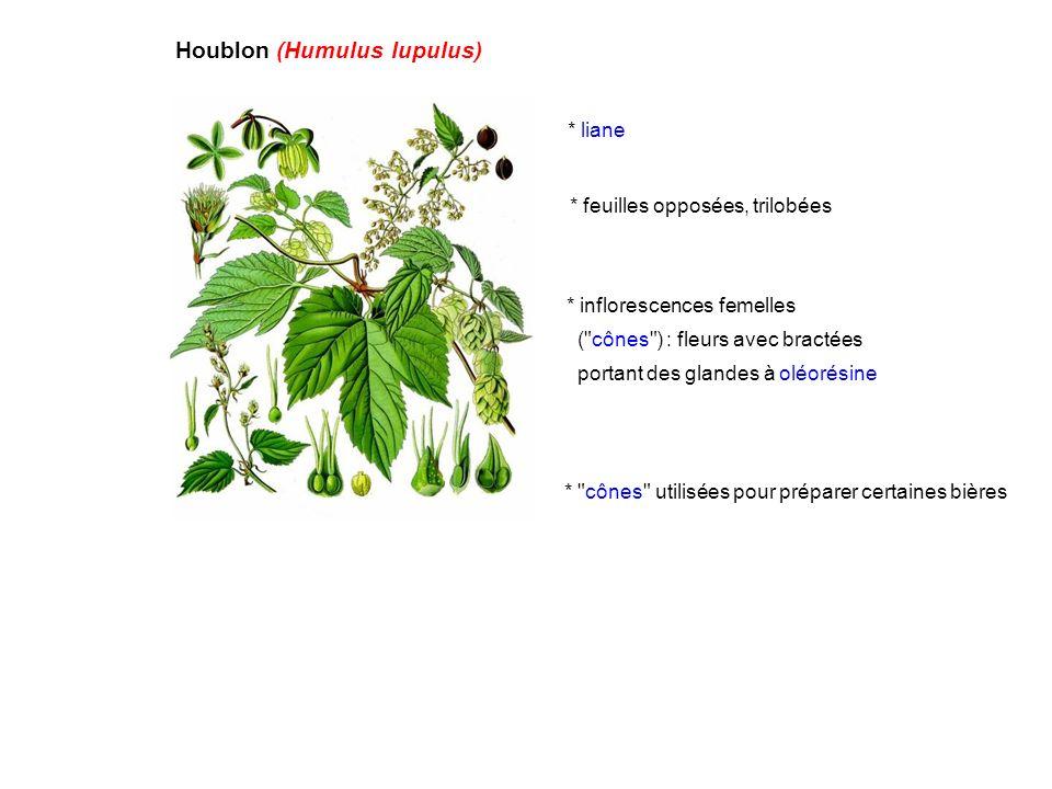 Houblon (Humulus lupulus) * liane * feuilles opposées, trilobées * inflorescences femelles (