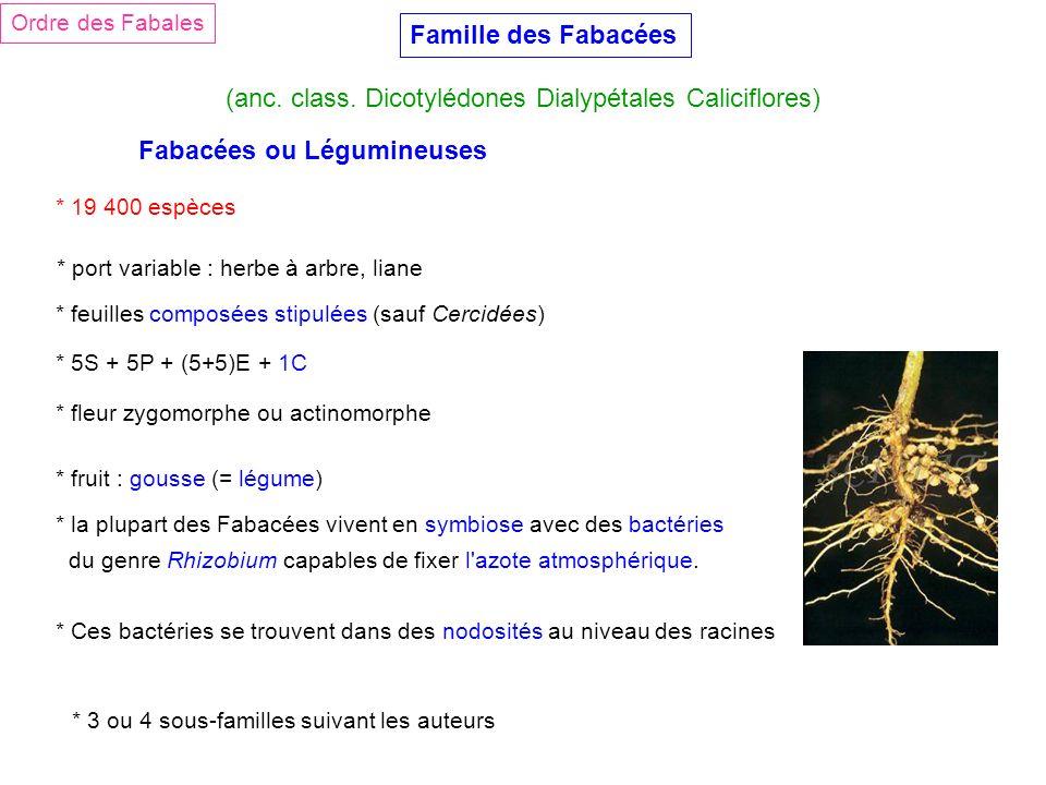 Famille des Fabacées (anc. class. Dicotylédones Dialypétales Caliciflores) Ordre des Fabales Fabacées ou Légumineuses * 19 400 espèces * port variable