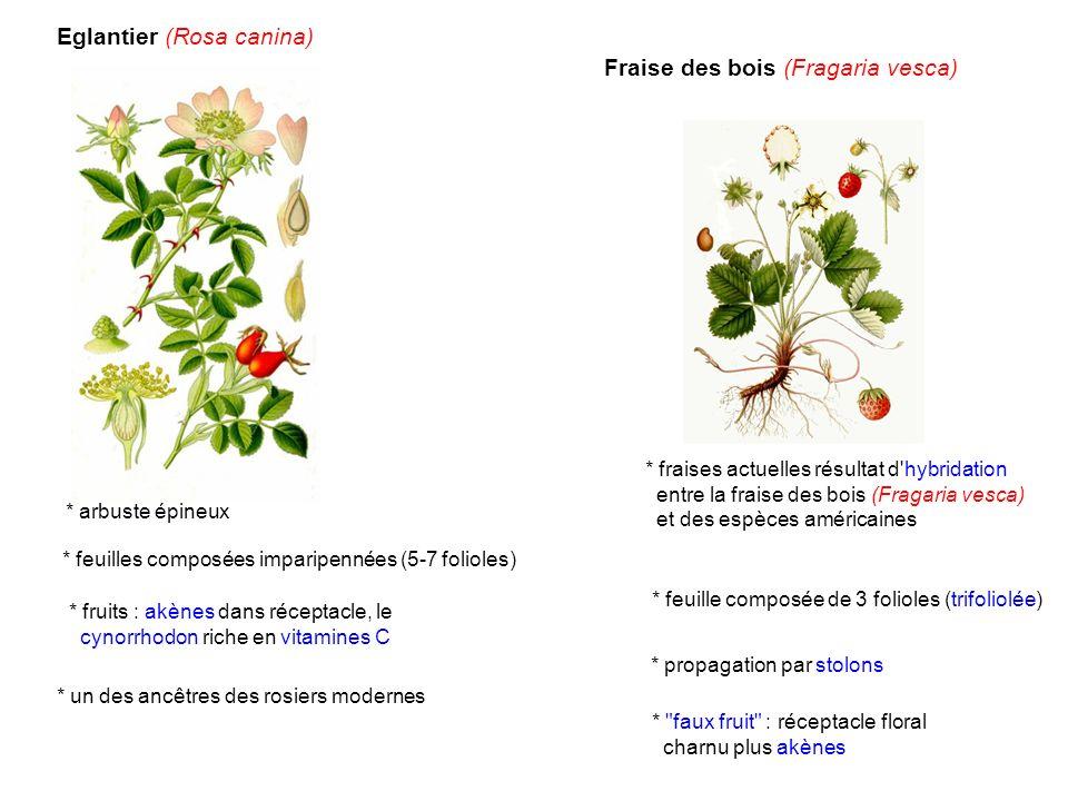 Eglantier (Rosa canina) * arbuste épineux * feuilles composées imparipennées (5-7 folioles) * fruits : akènes dans réceptacle, le cynorrhodon riche en