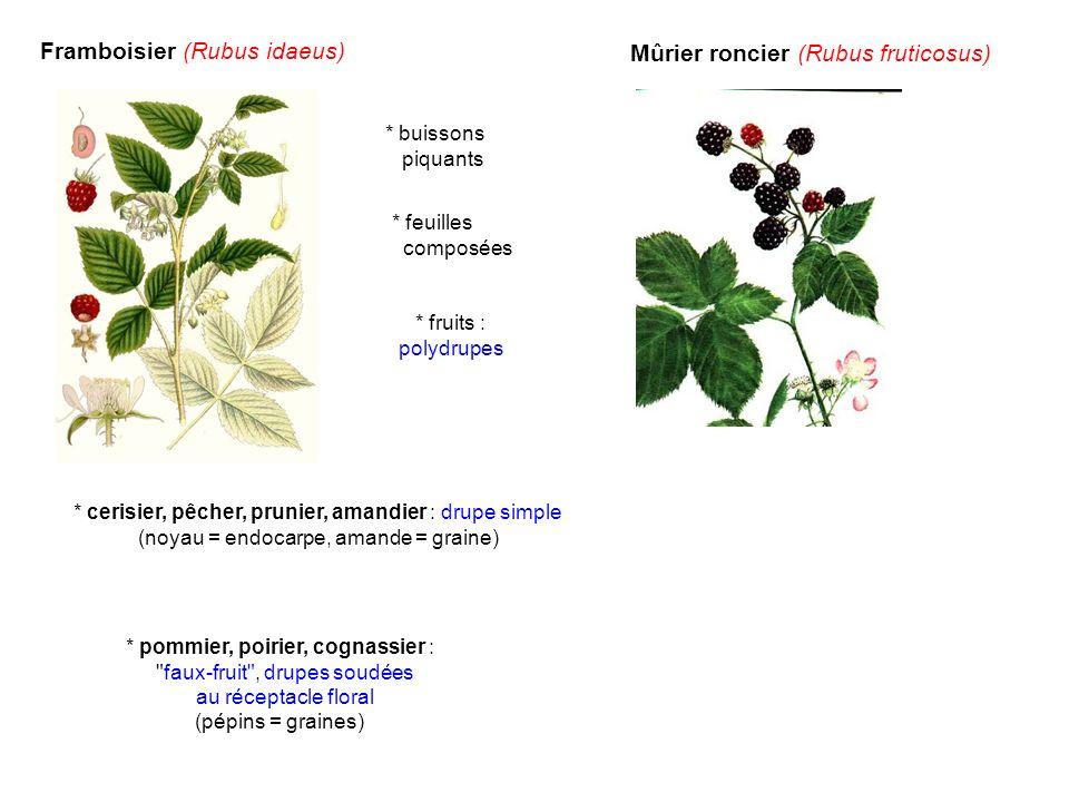 Framboisier (Rubus idaeus) Mûrier roncier (Rubus fruticosus) * fruits : polydrupes * buissons piquants * feuilles composées * cerisier, pêcher, prunie