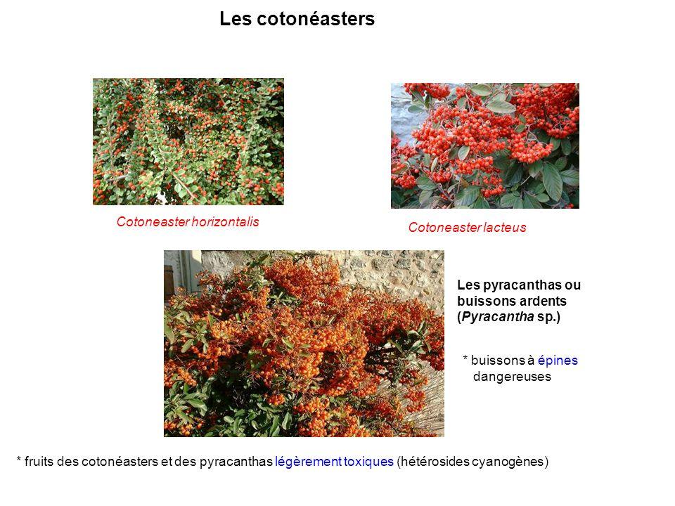 Cotoneaster horizontalis Cotoneaster lacteus Les cotonéasters Les pyracanthas ou buissons ardents (Pyracantha sp.) * buissons à épines dangereuses * f