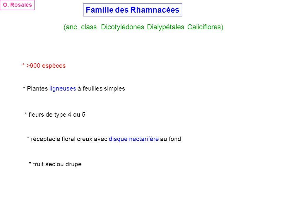 Famille des Rhamnacées (anc. class. Dicotylédones Dialypétales Caliciflores) O. Rosales * >900 espèces * Plantes ligneuses à feuilles simples * fleurs