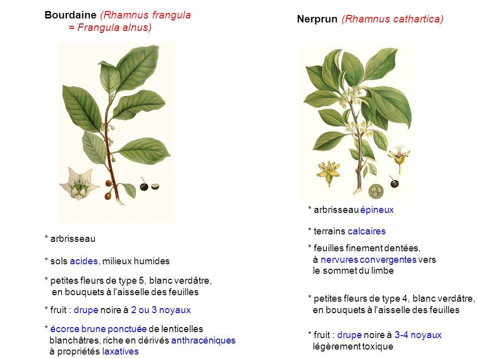 Nerprun (Rhamnus cathartica) * arbrisseau épineux * terrains calcaires * feuilles finement dentées, à nervures convergentes vers le sommet du limbe *