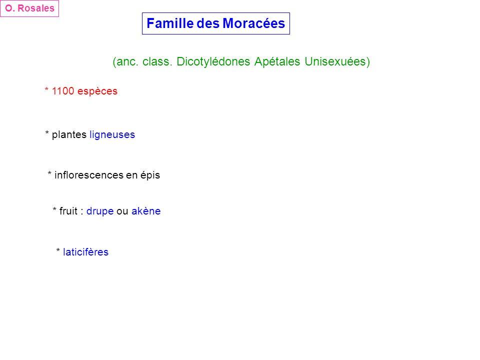 Famille des Moracées (anc. class. Dicotylédones Apétales Unisexuées) O. Rosales * 1100 espèces * plantes ligneuses * inflorescences en épis * fruit :