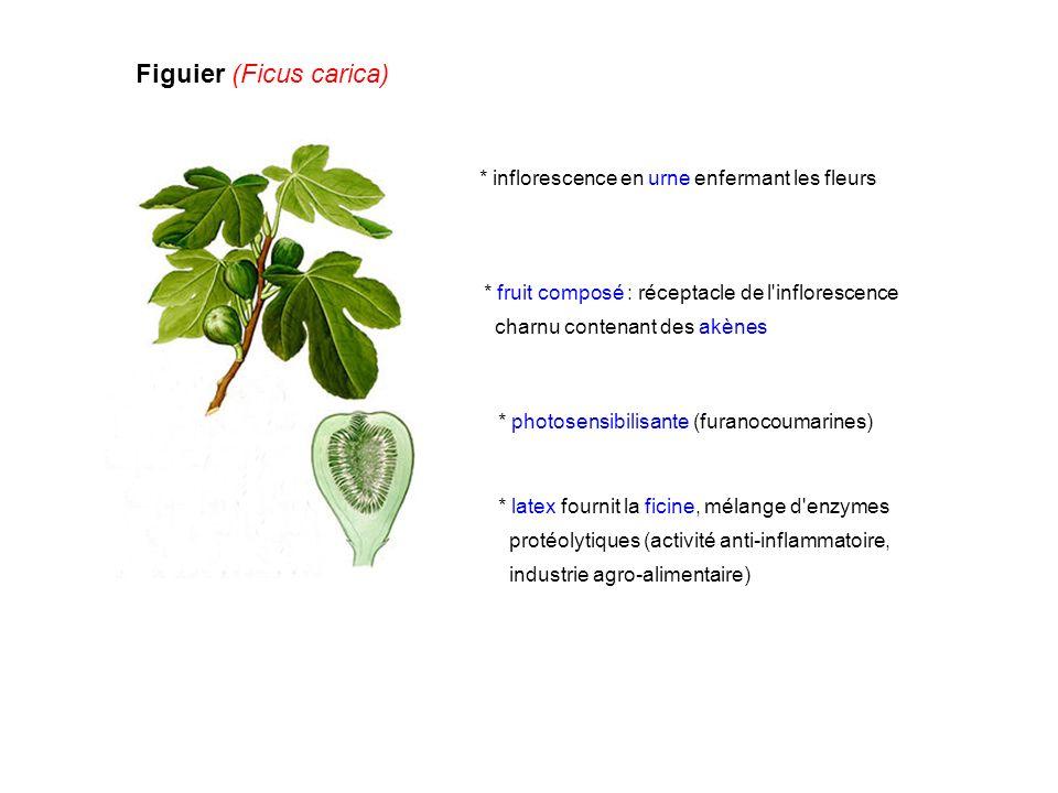 Figuier (Ficus carica) * photosensibilisante (furanocoumarines) * inflorescence en urne enfermant les fleurs * fruit composé : réceptacle de l'inflore