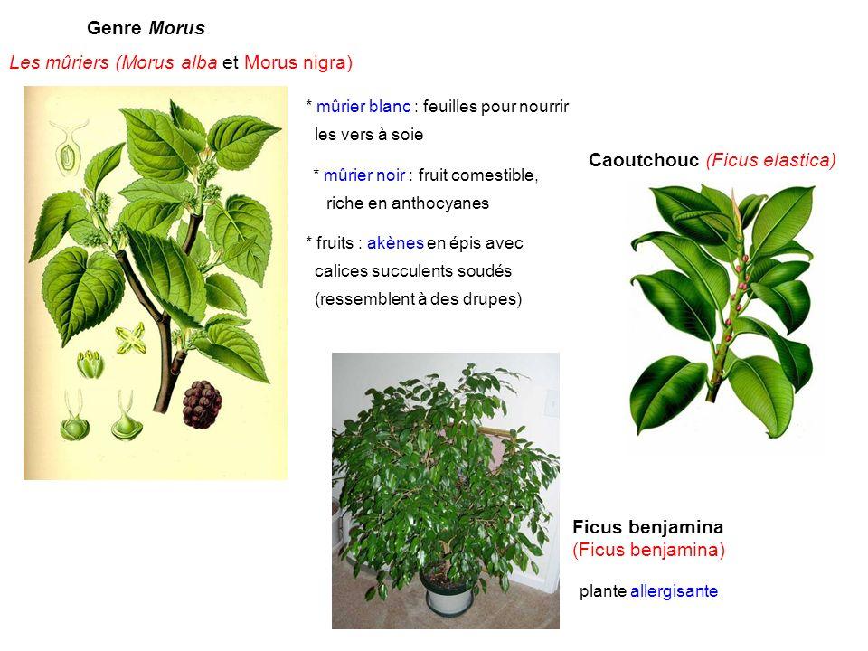 Genre Morus Les mûriers (Morus alba et Morus nigra) * mûrier blanc : feuilles pour nourrir les vers à soie * mûrier noir : fruit comestible, riche en