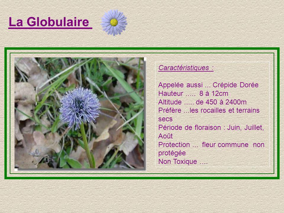 L'Edelweiss Caractéristiques : Hauteur..... 15 à 25cm Altitude..... de 800 à 3000m Préfère le creux des rochers Période de floraison :Juillet, Août, S