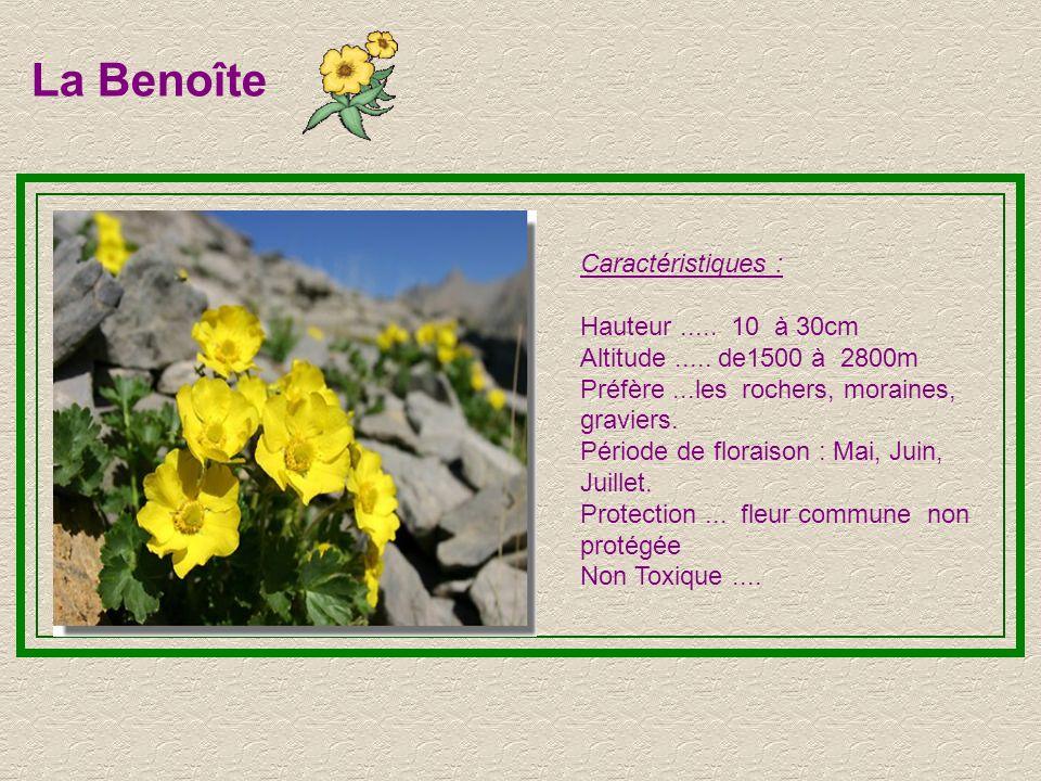 Linaire des Alpes Caractéristiques : Appelée aussi... Crépide Dorée Hauteur..... 8 à 10cm Altitude..... de1500 à 3800m Préfaire...les éboulis, rochers
