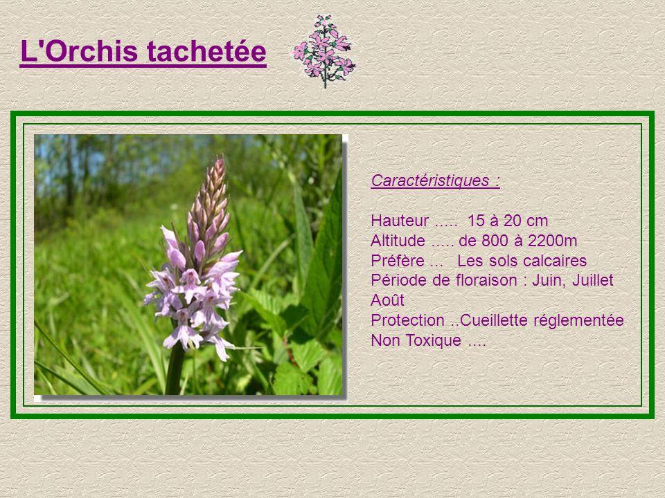 Le Myosotis Caractéristiques : Hauteur..... 5 à 20 cm Altitude..... de 800 à 2800m Préfère...Les pelouses humides Période de floraison : Tout l'été Pr