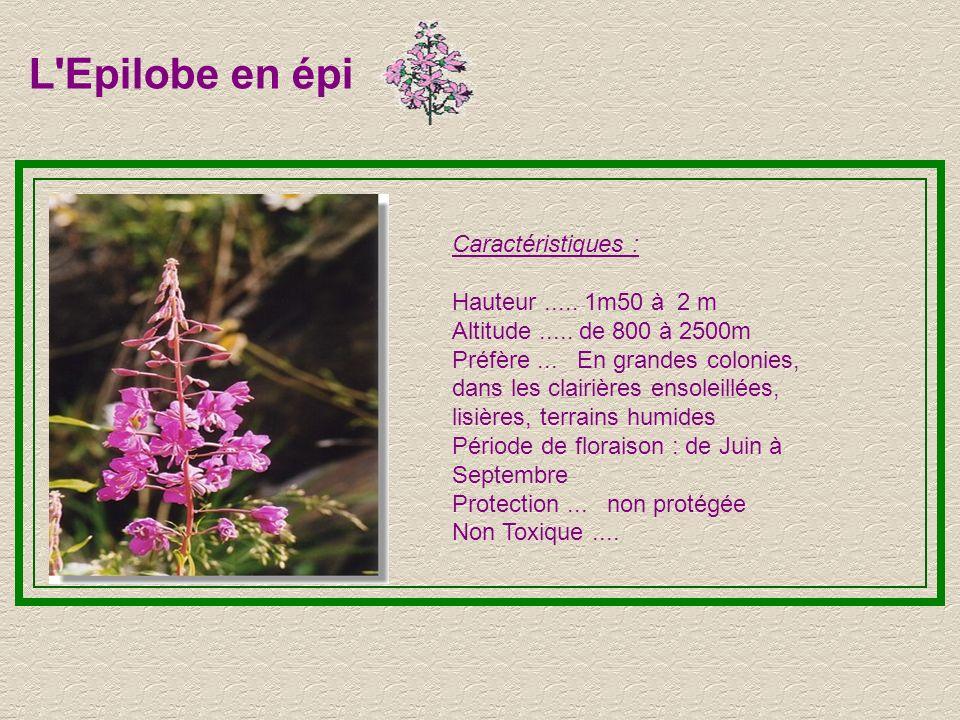 L'Hysope Caractéristiques : Hauteur..... 20 à 50 cm Altitude..... de 800 à 2000m Cette fleur peut être de différentes couleurs Préfère... Les roches e
