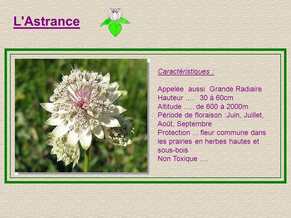 L Astrance Caractéristiques : Appelée aussi Grande Radiaire Hauteur.....