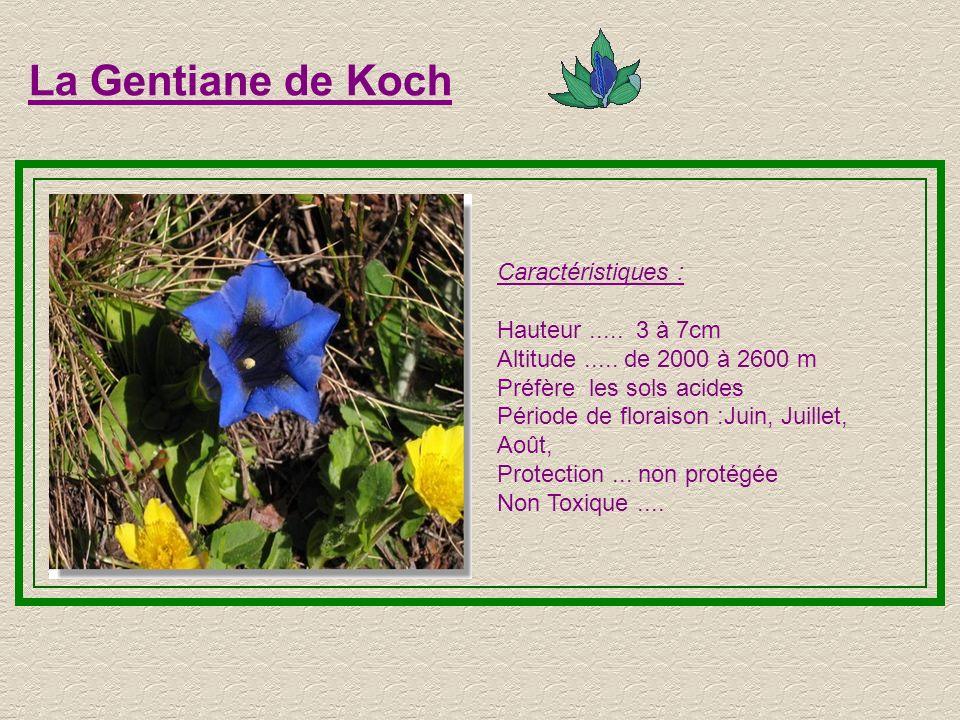 L Edelweiss Caractéristiques : Hauteur.....15 à 25cm Altitude.....