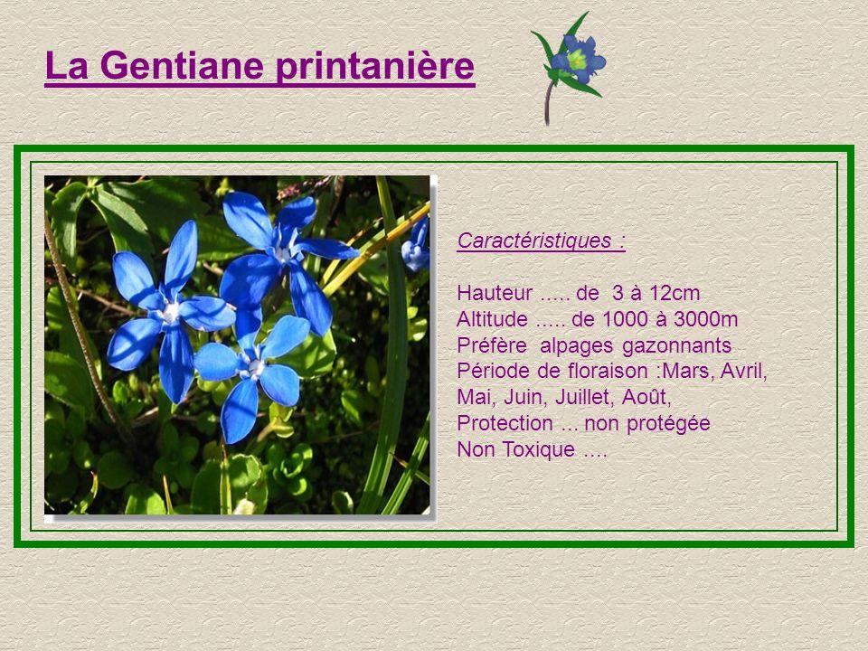 La Gentiane de Koch Caractéristiques : Hauteur..... 3 à 7cm Altitude..... de 2000 à 2600 m Préfère les sols acides Période de floraison :Juin, Juillet