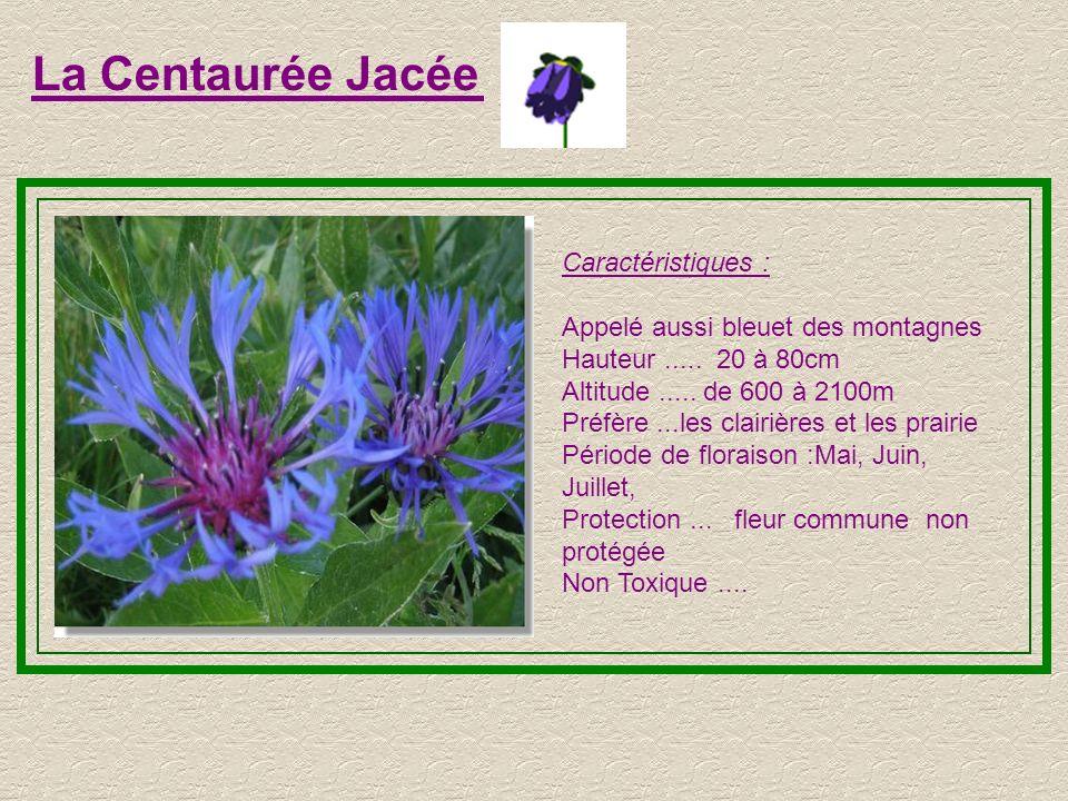 La Centaurée Jacée Caractéristiques : Appelé aussi bleuet des montagnes Hauteur.....