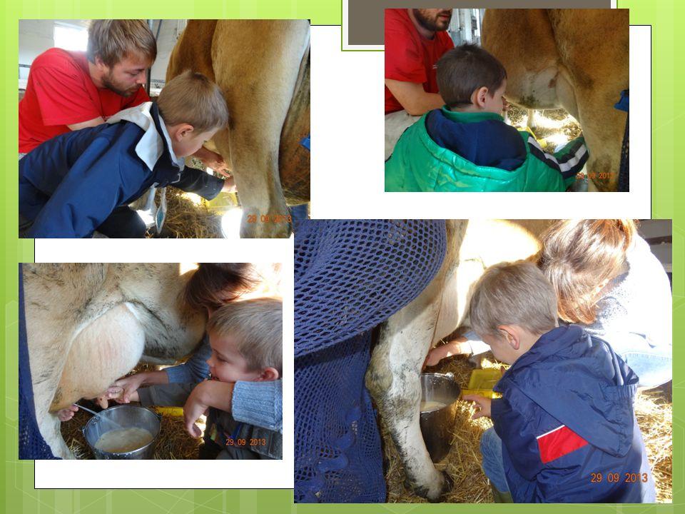 Nous nous occupons de Marguerite, la jolie vache…