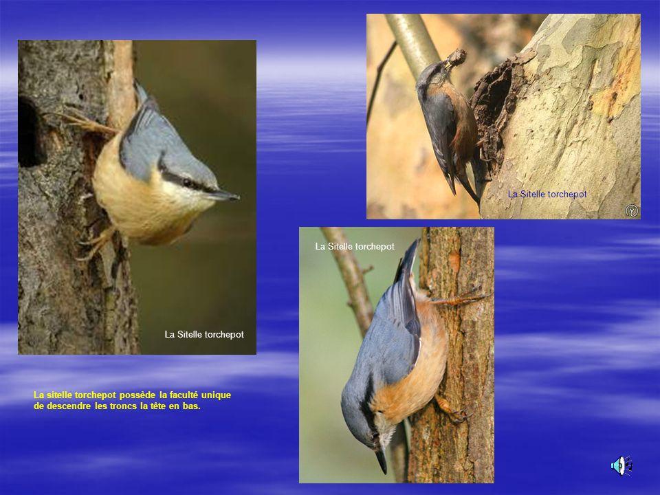 La Sitelle torchepot Ce passereau se remarque par un manteau gris bleuté La Sitelle torchepot Son chant :
