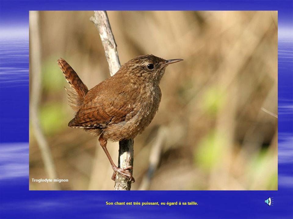 Le troglodyte mignon Cest une boule de plume rousse et brune, toujours en mouvement. Son poids 9g. Le troglodyte mignon Son chant :