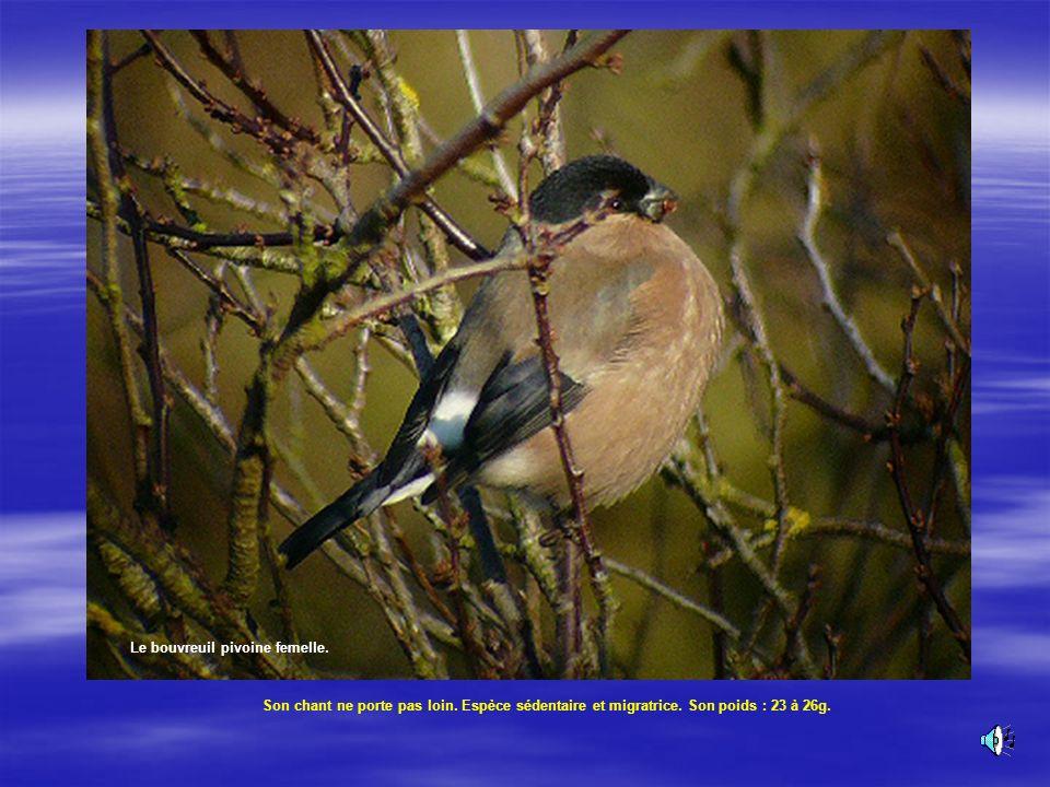 Le Bouvreuil pivoine mâle. Tête noire, ailes noires avec une barre blanche, corps rouge vif ou orange. Le Bouvreuil pivoine Son chant :