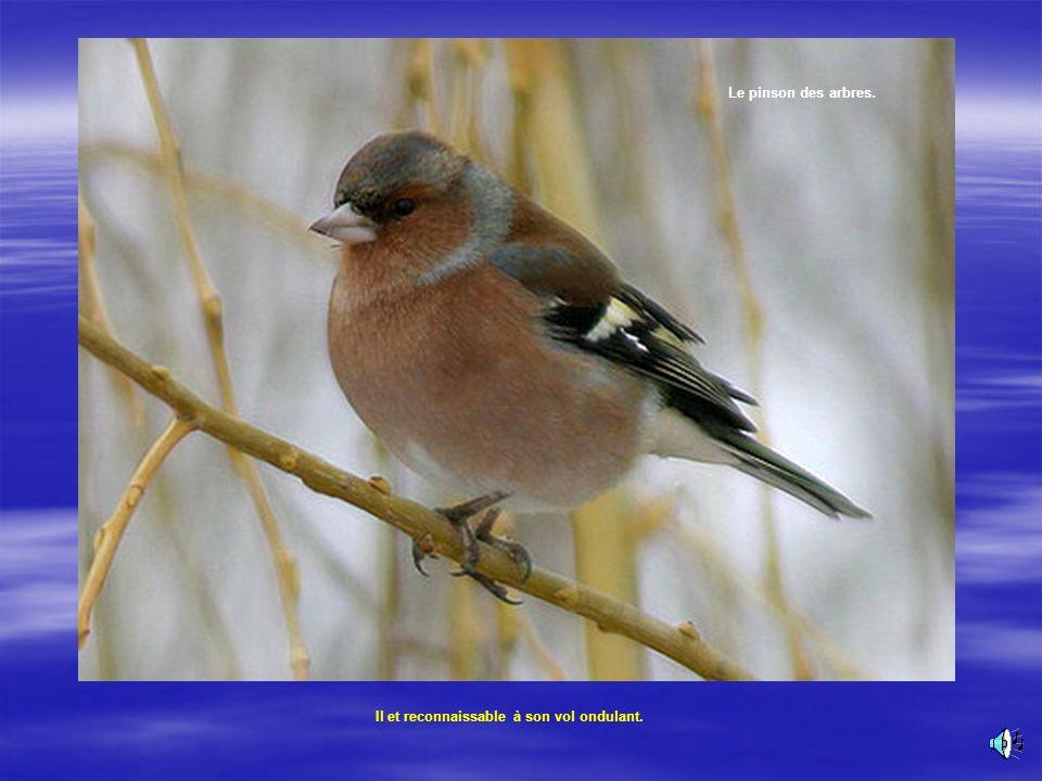 Le pinson appartient à la vie du jardin. Le mâle se signale dès la fin de lhiver par son chant répété : 400 fois par heure ! Le pinson des arbres. Son