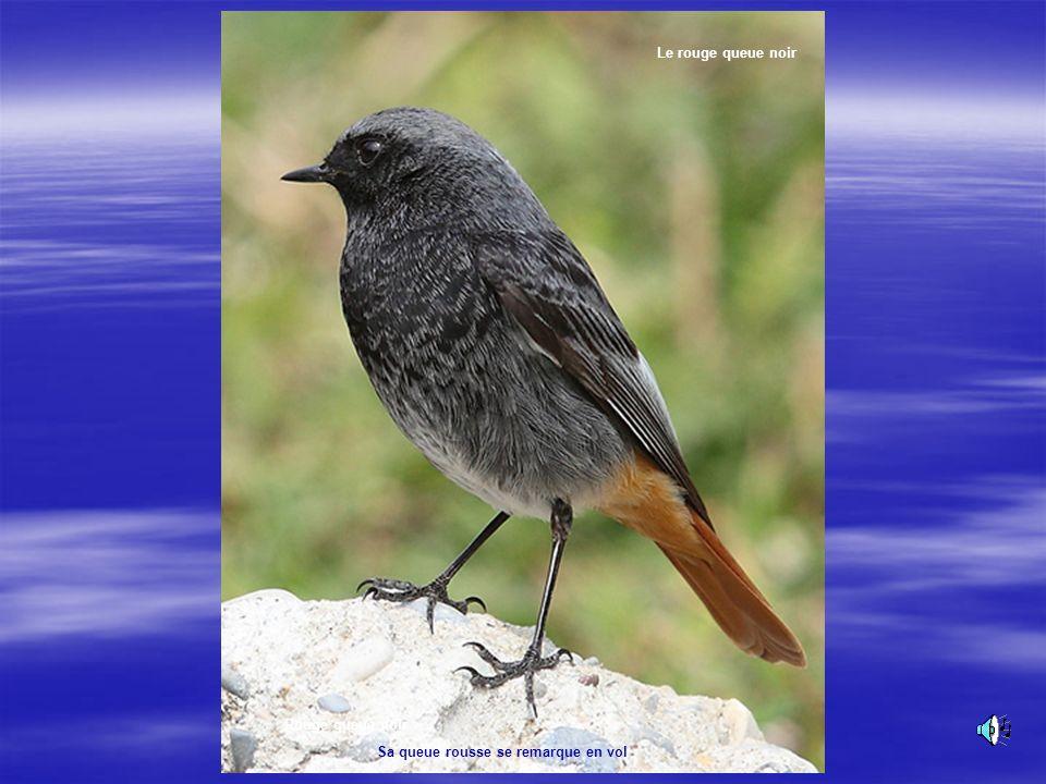 Le Rouge queue noir Le rouge queue noir Le noir de sa livrée nest pas étranger au surnom de « ramoneur » quon lui attribue. Son chant :