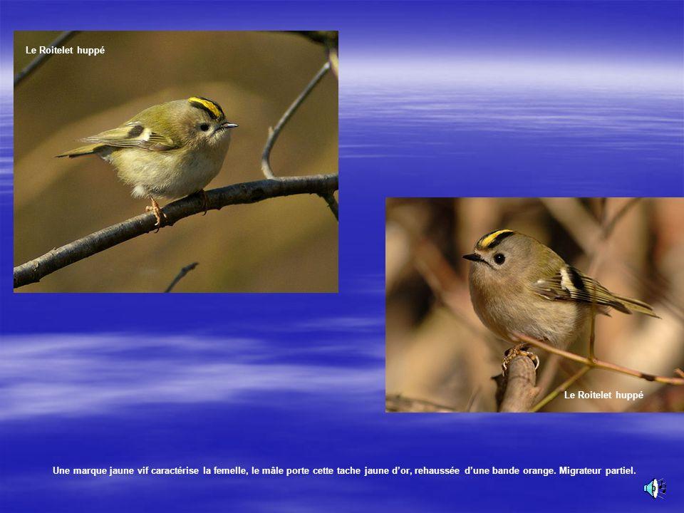 Le Roitelet huppé Cest un minuscule oiseau des parcs et des forêts. Son poids 5 à 6g. Son chant :