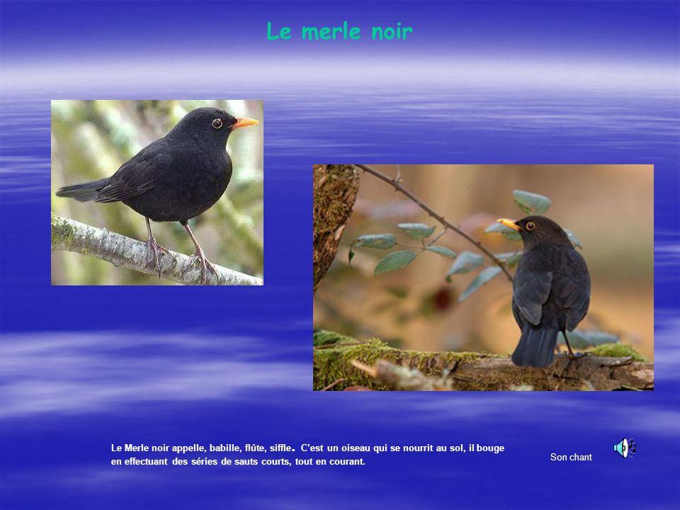 La Grive litorne Oiseau farouche au cri typique. Erratique, la litorne garde son un instinct grégaire. Son aire de reproduction gagne louest de lEurop