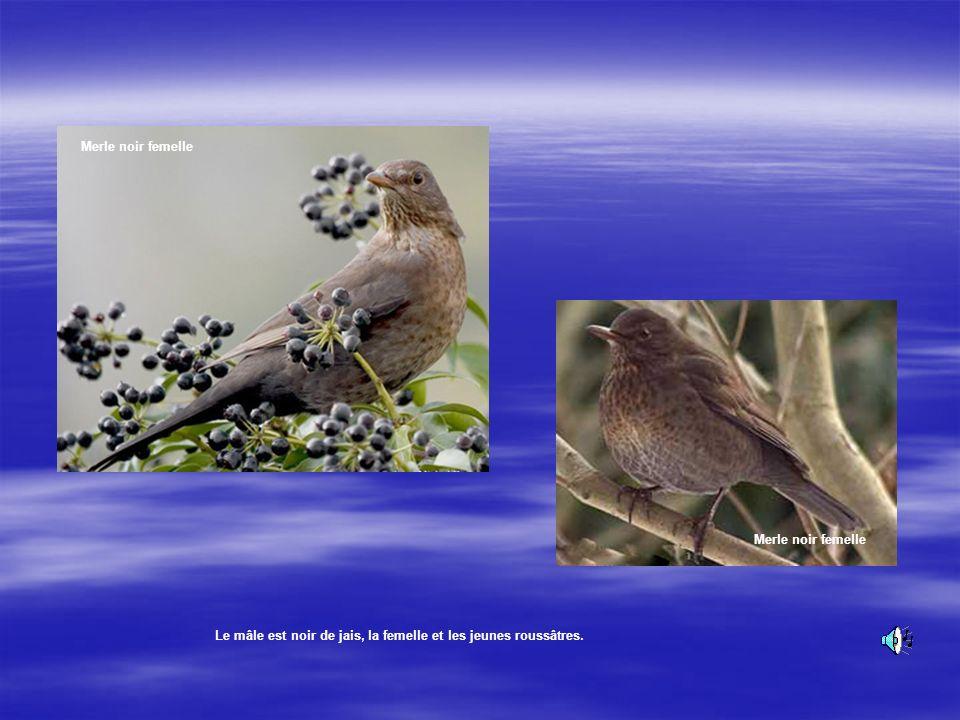 Le merle noir Le Merle noir appelle, babille, flûte, siffle. Cest un oiseau qui se nourrit au sol, il bouge en effectuant des séries de sauts courts,