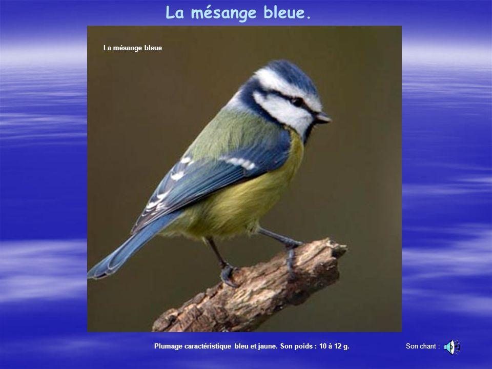 La mésange bleue Plumage caractéristique bleu et jaune.