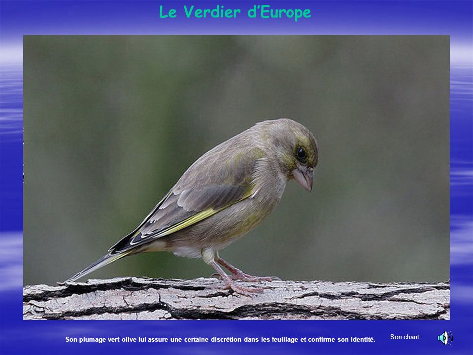 LÉtourneau sansonnet Un oiseau bien connu, qui se regroupe en bandes immenses à l'automne. Il est bien reconnaissable à son plumage aux reflets métall
