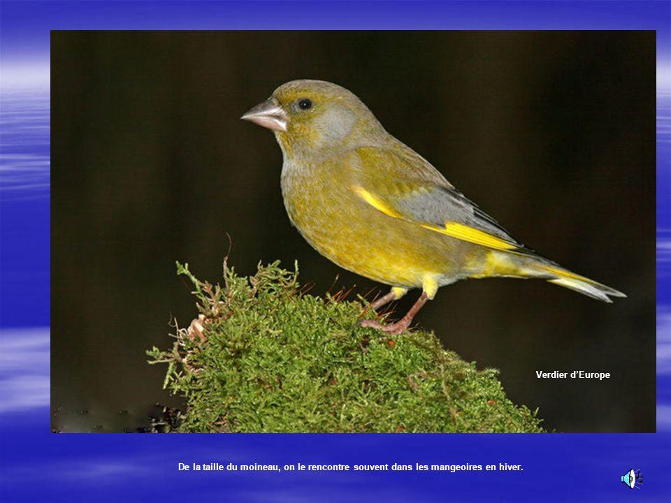 Le Verdier dEurope Son plumage vert olive lui assure une certaine discrétion dans les feuillage et confirme son identité. Son chant: