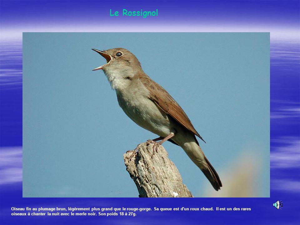 Cet oiseau commun de nos villes et de nos campagnes, est un oiseau peu farouche, que l' on peut facilement rencontrer sur les parkings de supermarchés