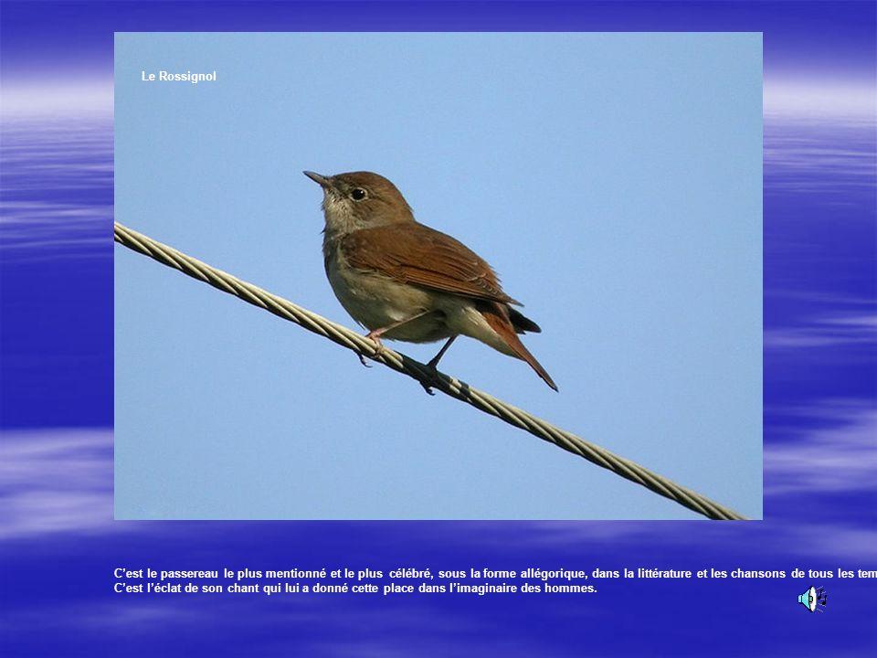 Le Rossignol Oiseau fin au plumage brun, légèrement plus grand que le rouge-gorge. Sa queue est d'un roux chaud. Il est un des rares oiseaux à chanter